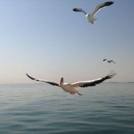 HUGE Albatros...