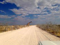 Giraffe crossing...