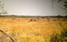 Pack of Lion eating a giraffe...