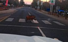 Warthog crossing in Botswana!!!